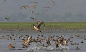 Tanguar Haor: Accusations fly as unique biodiversity comes under threat