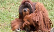 Chantek, the orangutan who used sign language, dies at 39