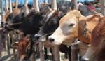 Local cattle can meet demand