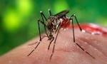 Common mosquito can carry Zika virus