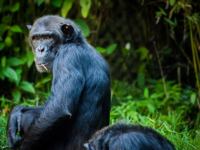 Chimps can play rock-paper-scissors game, says study