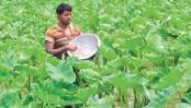 Arum farming brings smile to farmers in Rajshahi