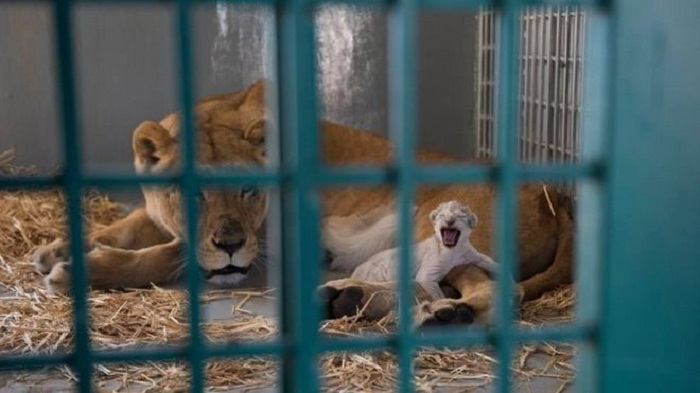 Lion rescued from Aleppo zoo gives birth in Jordan