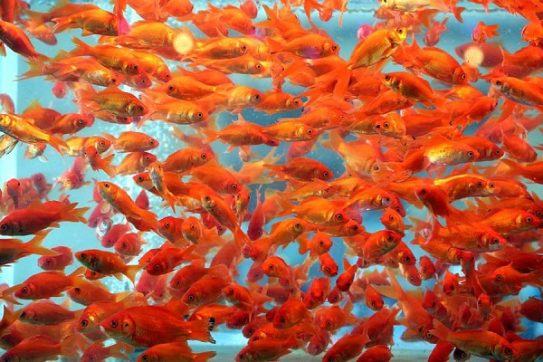 Goldfish can turn their own bodily fluids into alcohol