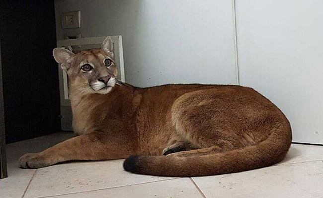 Employees enter office, find roaring puma under desk (Video)