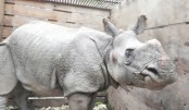 Rhino swept from Nepal to India goes home