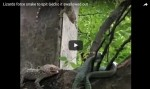 Two lizards fight snake and force it to spit their friend out alive (Video)