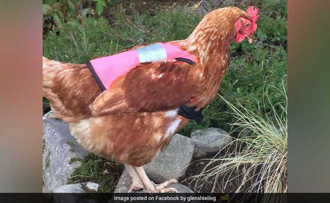 These chickens wearing pink vests is the cutest thing you'll see today (Video)