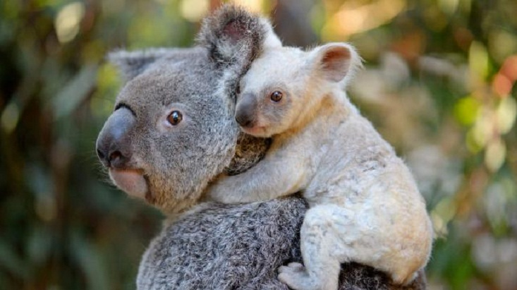 Rare white koala born at Australian zoo