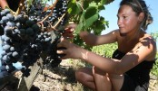 France faces worst wine harvest since 1945