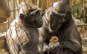 Loveless monkey adopts chicken at Israeli zoo (See adorable pics)