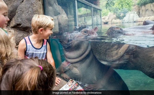 Fiona the baby hippo, or how animals go viral