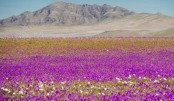 Desert erupts in floral beauty after unexpected rain falls
