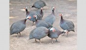 Experts for rearing guinea fowl to meet protein deficiency