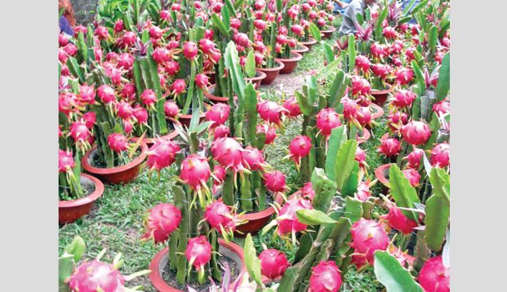Dragon fruit farming gains ground in Rajshahi