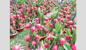 Dragon fruit farming gains ground in Rajshahi