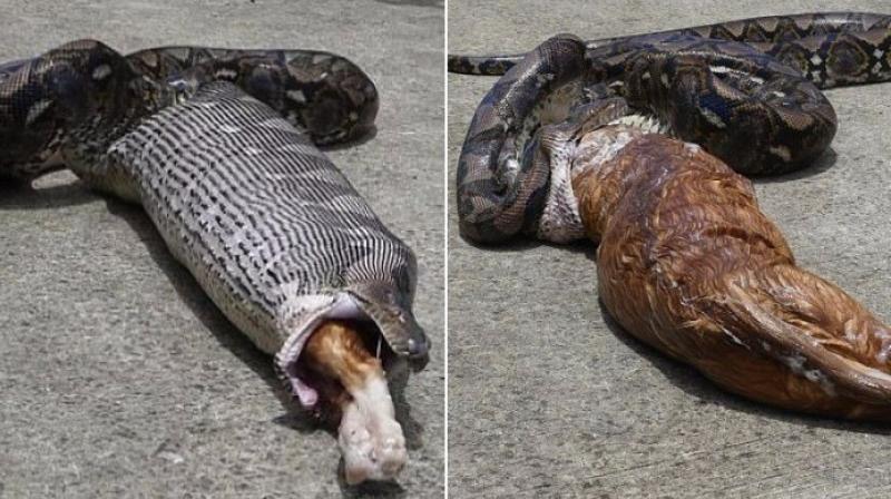 Rescuers force python to regurgitate pet cat (Video)