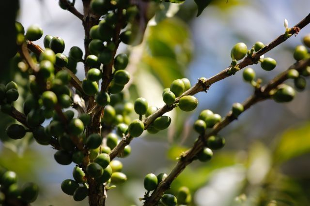 Climate change threatens Latin America coffee producers
