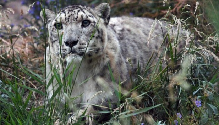 Snow leopard off endangered list