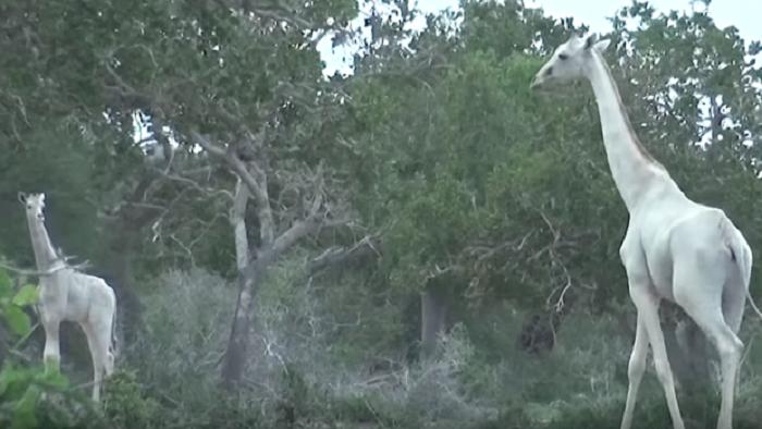 Extremely rare white giraffe found in Kenya