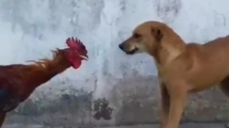 Fighter Cock! This fight between a dog and a rooster ended hilariously (Video)