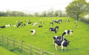 Planet-warming methane from livestock underestimated: study