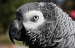 Parrot goes online shopping after mimicking owner (video)