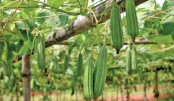Jhinga cultivation gains popularity in Jessore