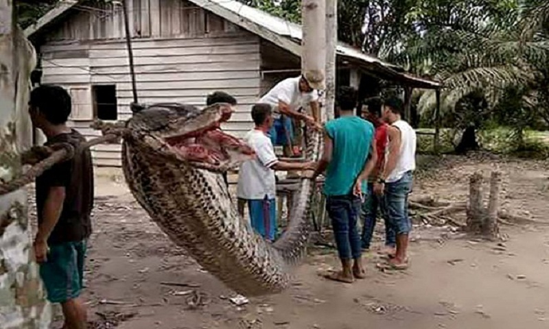 Indonesians eat defeated giant python