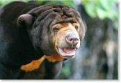 Sun bear mauls couple, kills wife in Indonesia