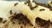 Bee-harming pesticides in 75pc of honey worldwide