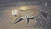 Leopard caught after 36 hours on prowl  in India factory