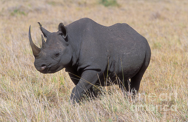 Black rhino to soon make a comeback to Chad after South Africa deal