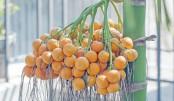 Lakshmipur witnesses bumper betel nut production