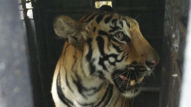 Man-eating Indian tigress dies of electrocution