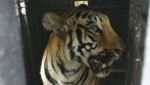 Man-eating Indian tigress dies of electrocution