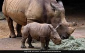 Baby rhino gallops into public view at Singapore zoo