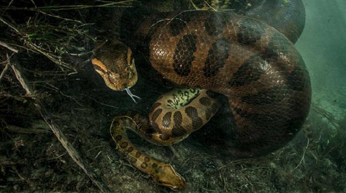 Female Anaconda strangles male after mating