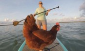 Florida woman takes chicken paddleboarding