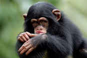 Lions, chimps, sharks get added protection under UN convention