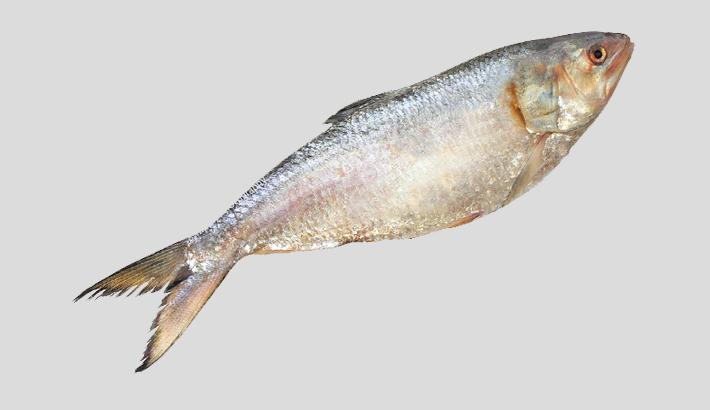 42,000cr juvenile  hilsa may be  produced  this yr