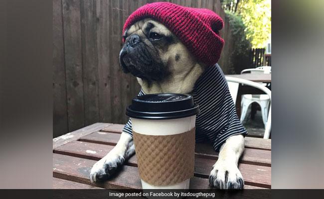 Hugs for pugs at London's latest pup-up café (Photos)