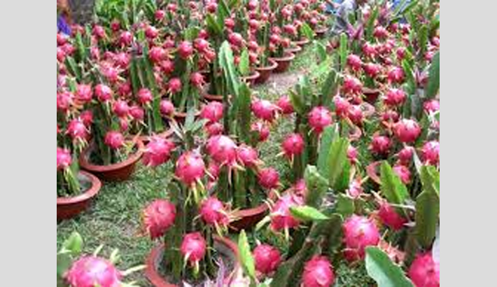 Dragon fruit cultivation gaining popularity  in Dumuria