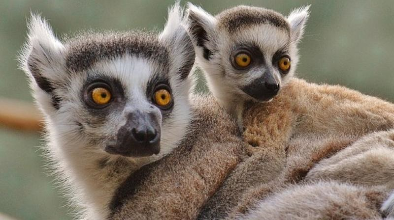 Climate change 'stealthy killer' of bamboo lemurs: Study