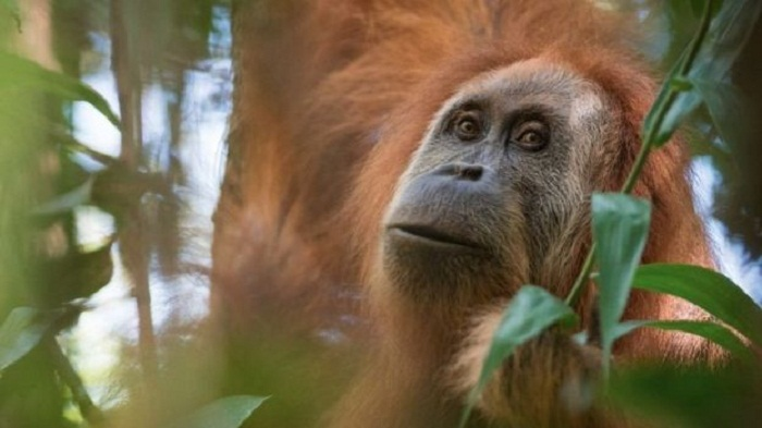 New great ape species identified in Indonesia