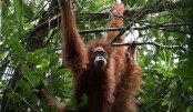 New great ape species discovered in Indonesia