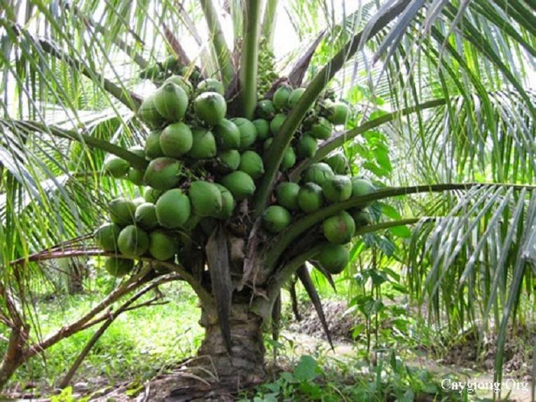 short coconut tree