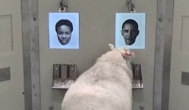 Sheep recognise Barack Obama from photo (Video)