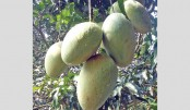 Late variety mango  in country