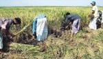 Bumper Aman production expected in Joypurhat